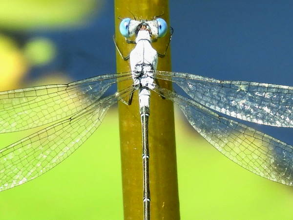 picture of a Chalky spreadwing damselfly