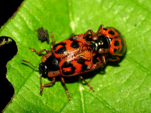 picture of a leaf beetle in the Chrysomela genus