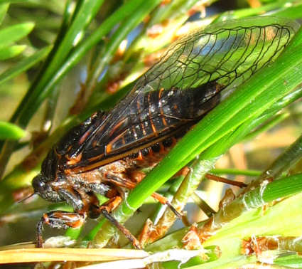 picture of a cicada in the Okanagana genus