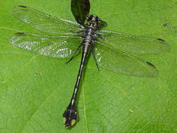 picture of a Cobra Clubtail. Credit Pondhawk Flickr