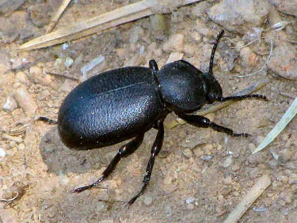 picture of a darkling beetle in the coelocnemis genus