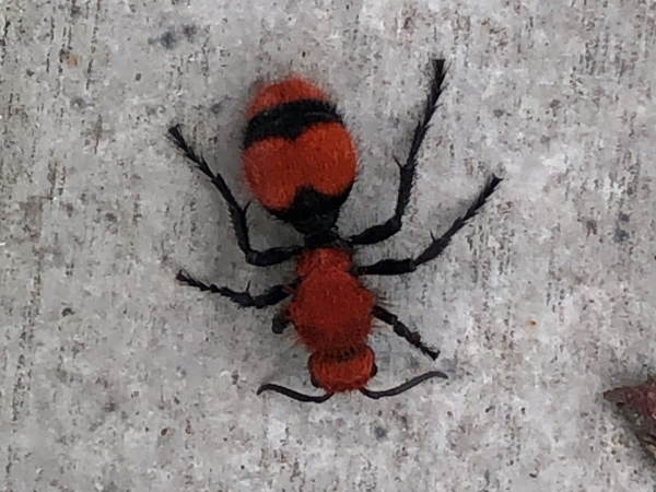 picture of a Common Eastern Velvet Ant, Virginia wasps