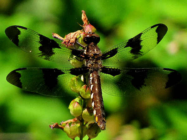 picture of a Common Whitetail dragonfly