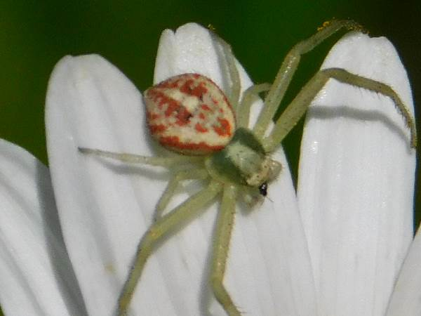 picture of a Northern Crab Spider, Kentucky spiders