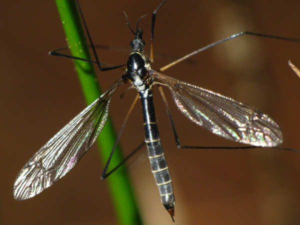 picture of a Crane Fly
