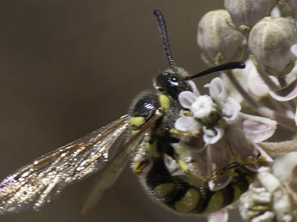 picture of a male Crioscolia alcione scoliid wasps