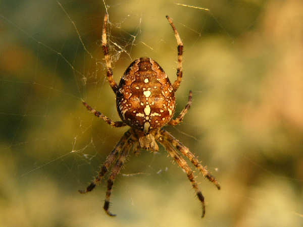 picture of a cross spider, a common garden spiders
