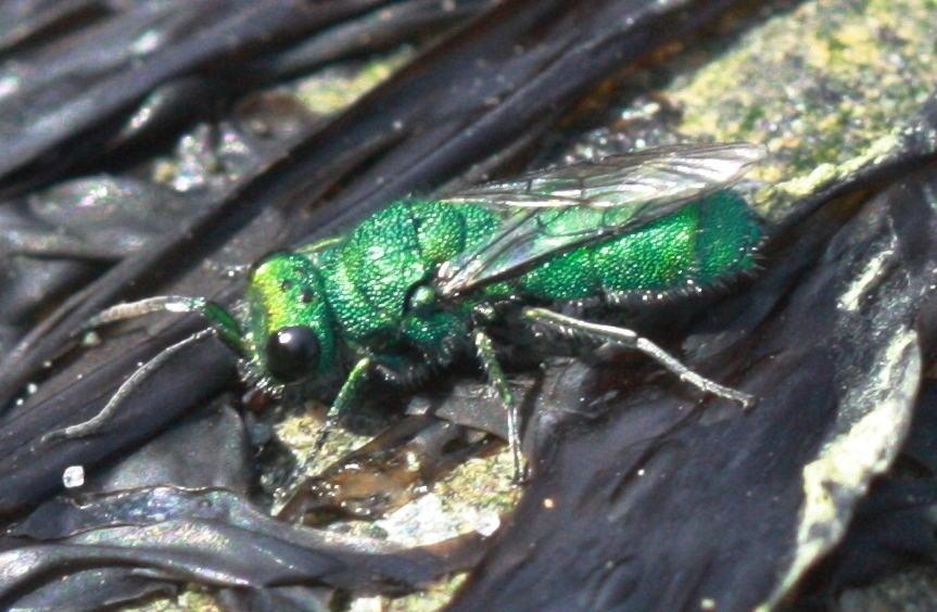 picture of a Cuckoo Wasp, Virginia wasps