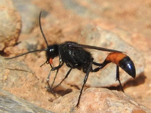 picture of a Cutworm Wasp