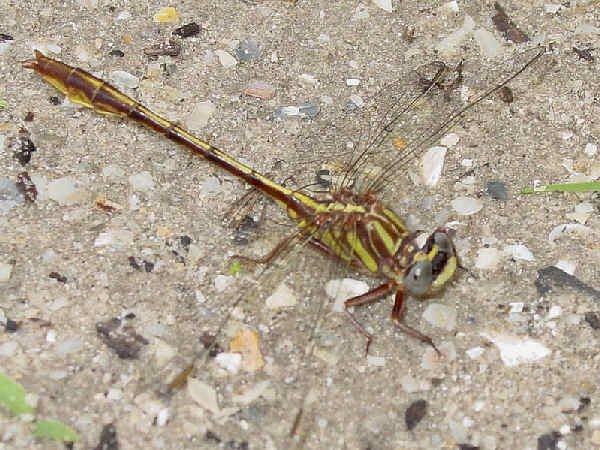 picture of an Cypress Clubtail. Credit Pondhawk Flickr