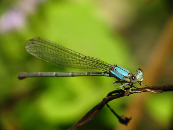 picture of a Narrow-winged Damselfly