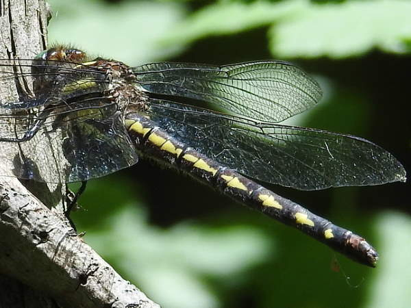 picture of a Delta-spotted Spiketail