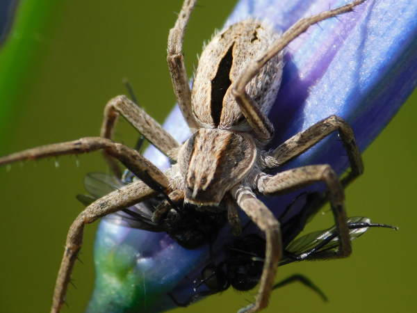 picture of a running crab spider, commonly called a diamond backed spider, Colorado spiders