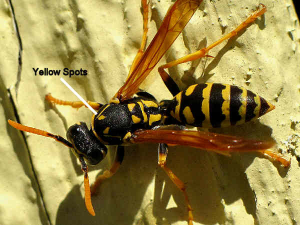 picture of a European paper wasp to compare the difference between yelowjackets and wasps