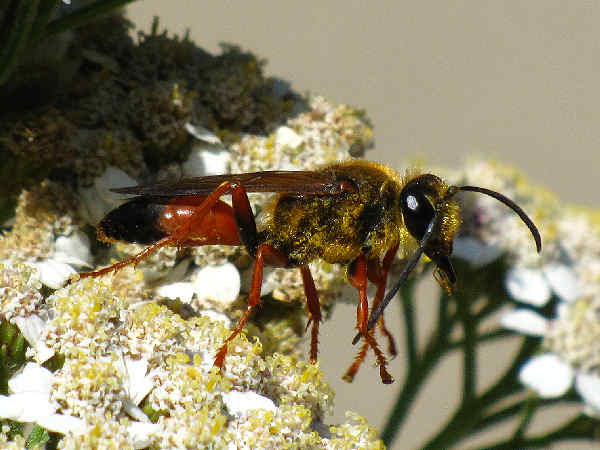 picture of a Great Golden digger wasp on flowers