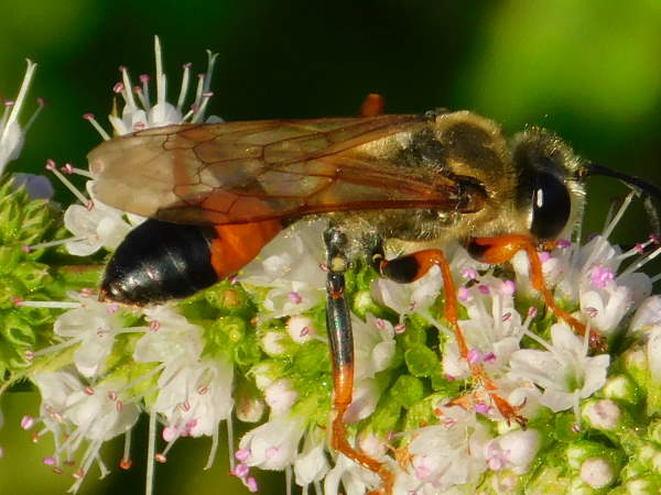 picture of a Great Golden Digger Wasp