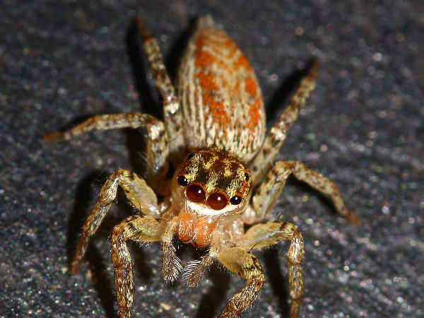 picture of a Dimorphic Jumper Maevia inclemens,credit, Josh Beasley, Flickr