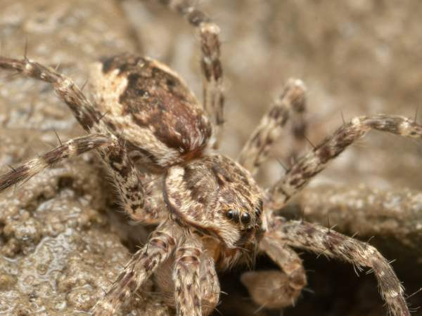 picture of a Dark Fishing Spider, dolomedes-tenebrosus