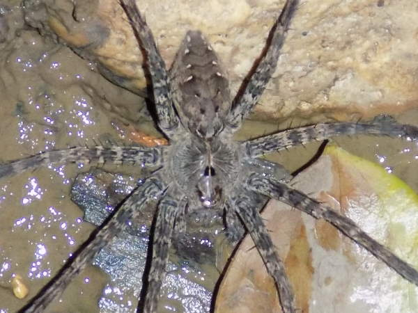 picture of a Fishing Spider, Dolomedes Vittatus, Delaware spiders