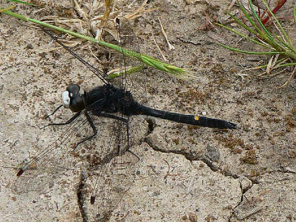 picture of a Dot-tailed Whiteface dragonfly