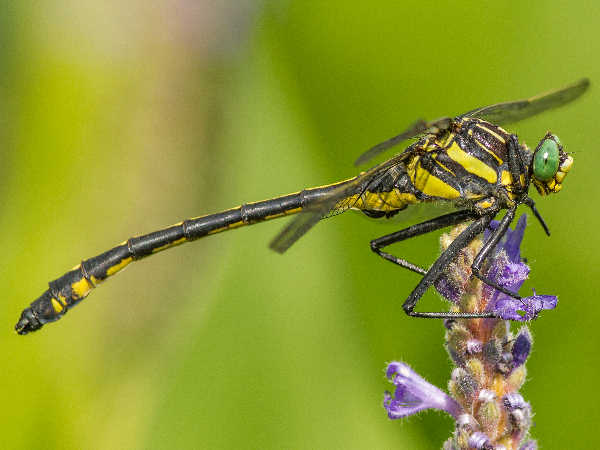 picture of a Dragonhuter dragonfly. Credit Fun Kynd Flickr