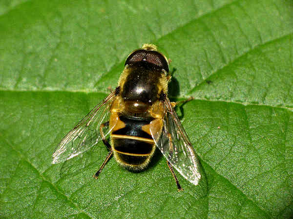 picture of a syrphid fly in the syrphus genus, one of the very common types of flower flies