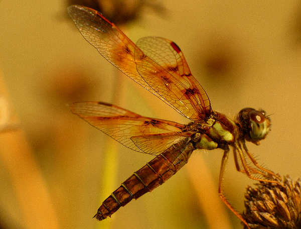 picture of a female Eastern Amberwing dragonfly