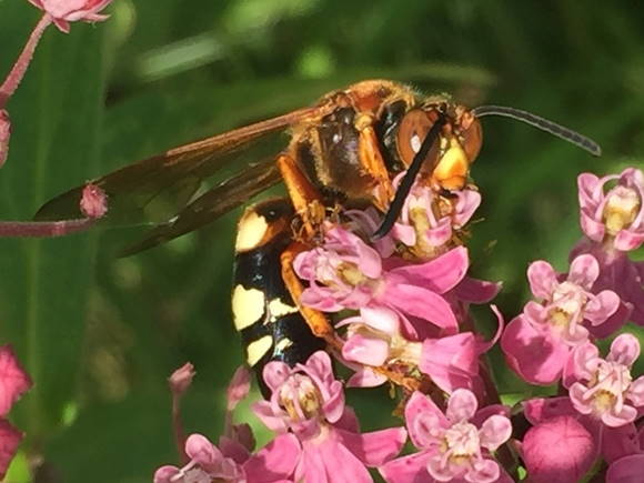 picture of an Eastern Cicada Killer wasp