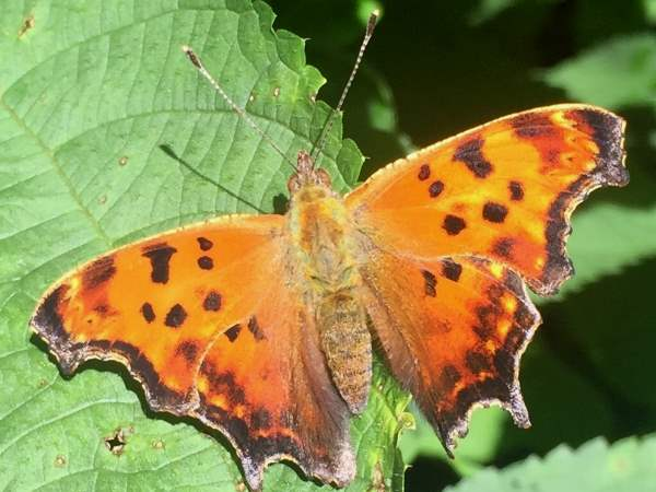 picture of a top view of an Eastern Comma butterfly