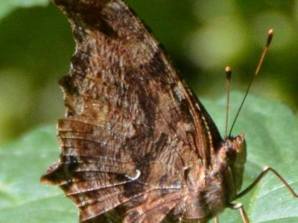 picture of a top view of a side view of an Eastern Comma butterfly
