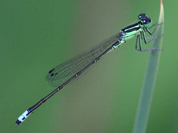 picture of an Eastern Forktail damselfly
