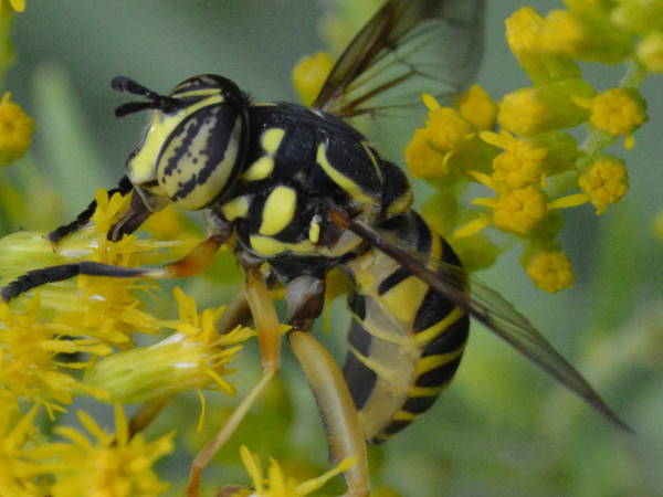 picture of an Eastern Hornet Fly