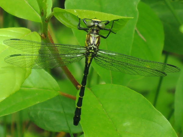 picture of a Eastern Least Clubtail dragonfly
