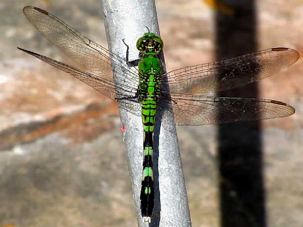 picture of a female Eastern Pondhawk dragonfly