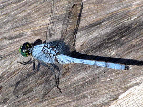 picture of a male Eastern Pondhawk dragonfly
