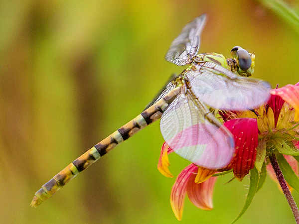 picture of a Eastern Ringtail dragonfly. Credit Melissa McMasters Flickr