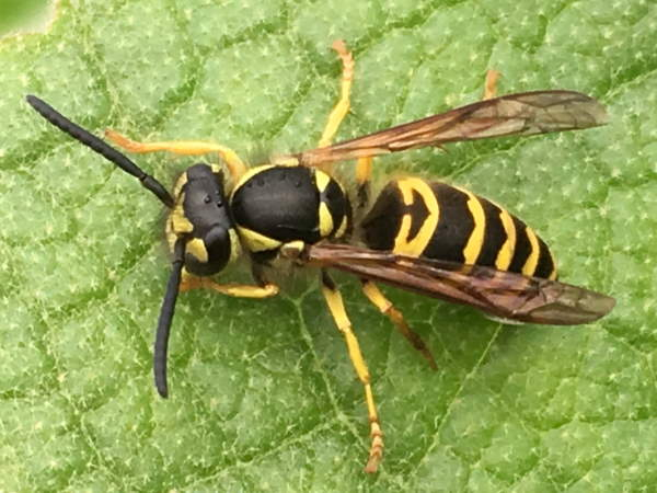 picture of an Eastern Yellowjacket