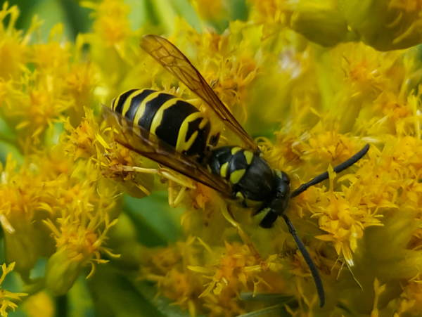picture of an Eastern Yellowjacket, North Carolina wasps