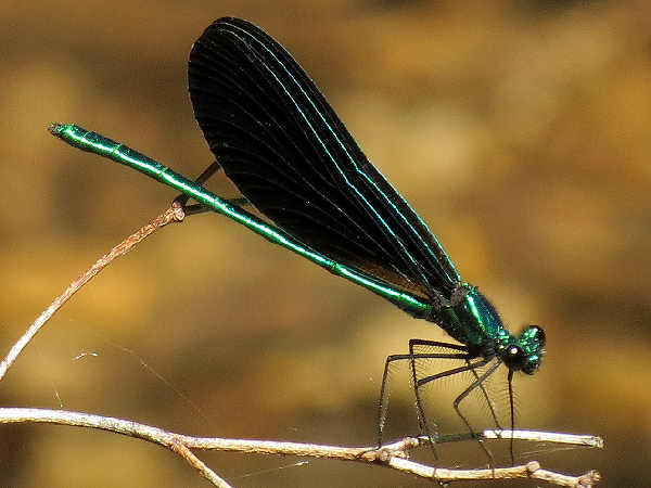 picture of an Ebony Jewelwing damselfly