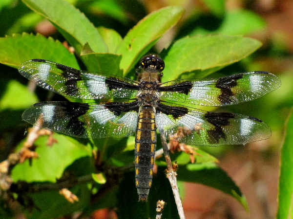 picture of an Eight-spotted Skimmer dragonfly