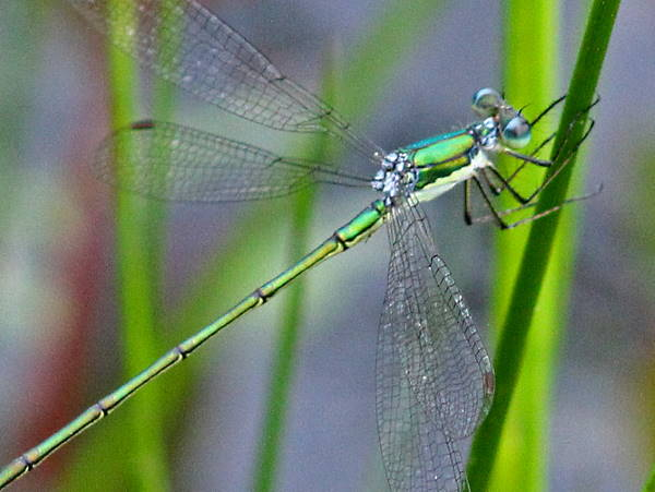 picture of an Elegant spreadwing damselfly