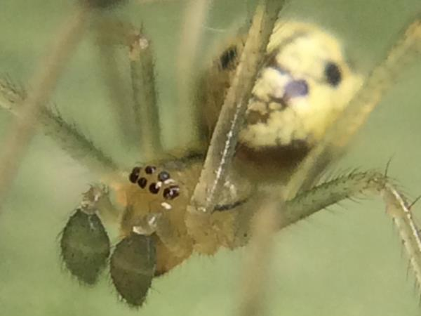 picture of a Cobweb spider, Enoplognatha ovata, New Hampshire spiders