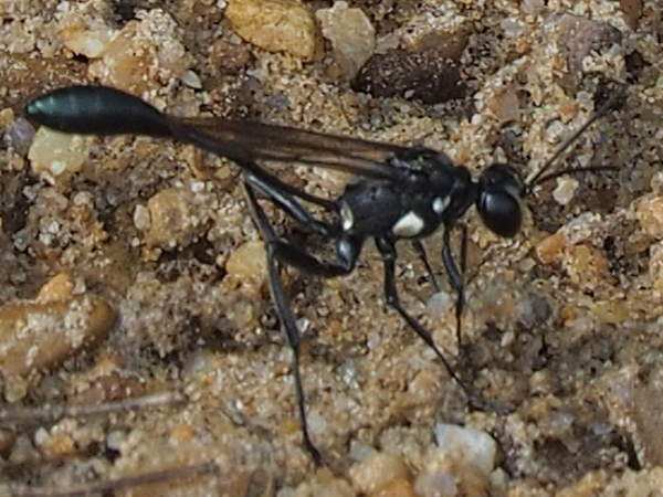 thread-waisted wasp, Eremnophia aureonotata