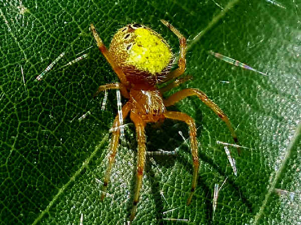 picture of a orb weaving spider, eriophora-ravilla