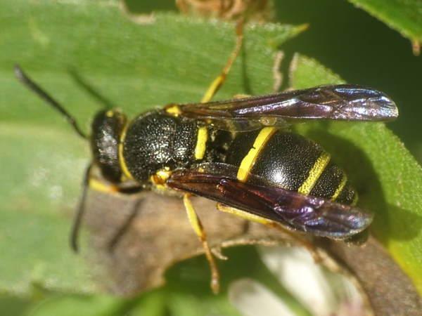 picture of a mason wasp, euodynerus-foraminatus