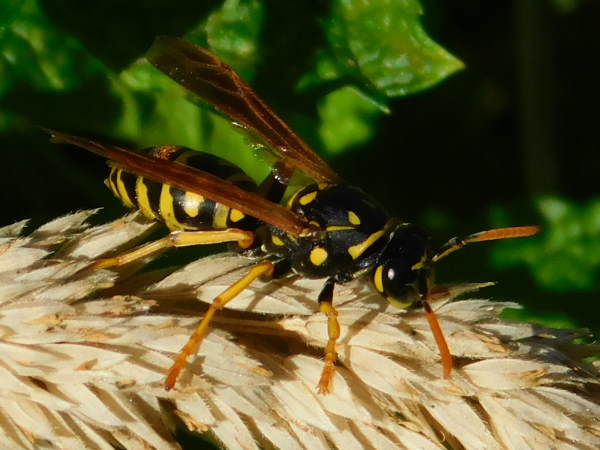 picture of a European paper wasp, Pennsylvania wasps