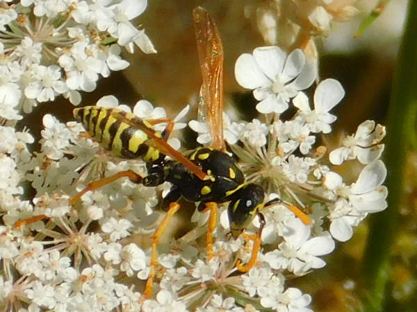 picture of a European Paper Wasp, Virginia wasps