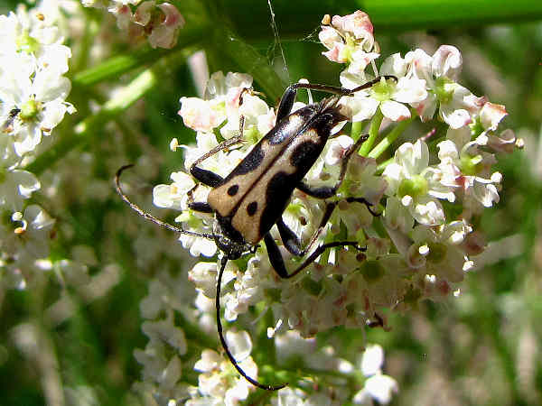 picture of a flower longhorn beetle, Evodinus monticola vancouveri