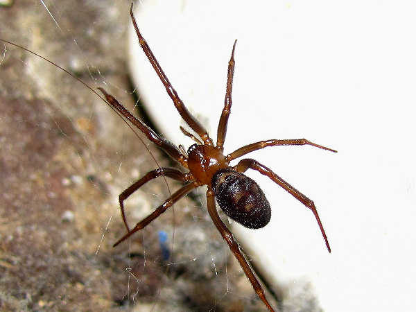 picture of a false widow spider