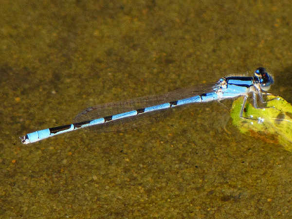 picture of a familiar bluet damselfly, part of the damselfly pictures collection